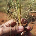Aussie spinifex nanomaterial could create stronger, thinner rubber products