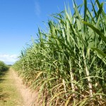 Sweet partnership between Queensland government and canegrowers