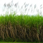 Report says billion dollar biomass manufacturing industry possible in Queensland