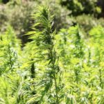 IDT secures medicinal cannabis licence