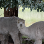 ANSTO and WEHI researchers use Alpacas in the race to fight COVID-19
