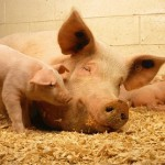 Australian Pork industry takes the lead for a cleaner environment